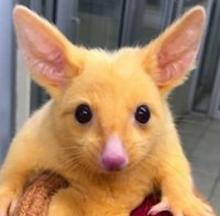 Rescued Baby Golden Possum Looks Shockingly Like Pikachu