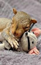 Baby Squirrel With Stuffed Mouse