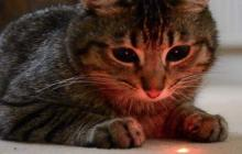 Cat focused on a laser light