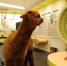Alpaca Who Fled French Farm Seen Shopping For Eyewear