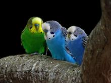 Parakeets in the wild