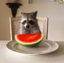 It's A Dog's Life For Pumpkin The Raccoon