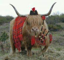 Highland Cow with Bagpipe and Kilt