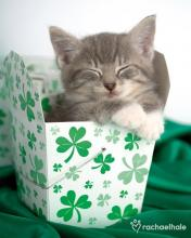 Irish Kitten