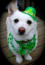 St. Patty's Day Dog