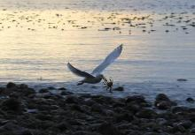 Seagull Catching a Crab