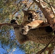 Firefighters Climb Tall, Tall Tree To Rescue Big, Big Cat
