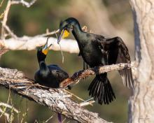 Nest-Building Cormorants