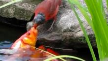 Cardinals & Gold Fish & Their Interspecies Behavior