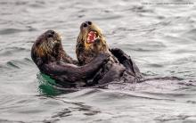 Sea Otter Tickle Fight: Photographer Andy Harris/Comedy Wildlife Photo Awards 2019