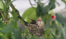 Two hummingbird fledglings, from video by Sheri Watson