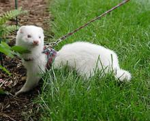 Leashed Ferret