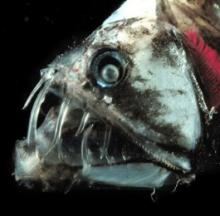 Deep Sea Dragonfish Stalk Prey With Stealth Teeth