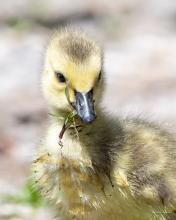 Duckling Eating Salad