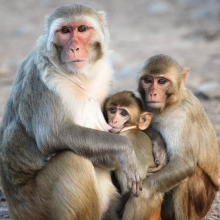 Monkey Business in SC Grew From 1400 to 3500 Monkeys In 4 Decades