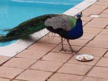 Dining Peacock