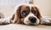 'Puppy Dog Eyes' Have Evolved In Domesticated Dogs