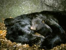 Hibernating black bear with cub