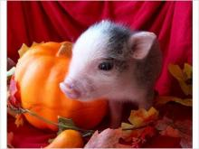 Autumn Teacup Pig