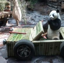 Panda Gets New Car On His Birthday, Feels A Bit Bamboozled