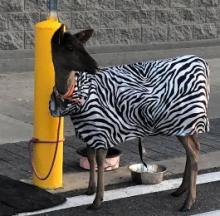 Parked Goat Channels Its Inner Zebra With An Outer-This-World Coat