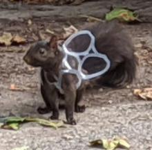 Sad Squirrel Snagged In Six-Pack Ring Snare