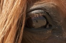 New Study Shows Horses' Left Eye Determines Threats