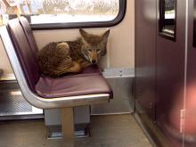 Urban Coyotes? Looking For Them In All The Wrong Places?