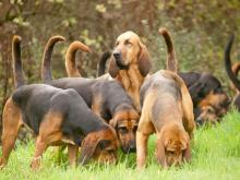 Group of Bloodhounds