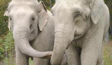 Reunion Of Two Circus Elephants Is A Moment To Remember