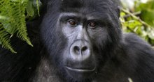 Will Mountain Gorillas Stop Extinction In Its Tracks?