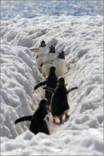 Penguin Traffic Jam