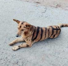 Farmers Fend Off Thieving Monkeys With Tiger-Striped Dogs