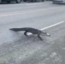 Why Did The Alligator Cross The Road... In Montreal??