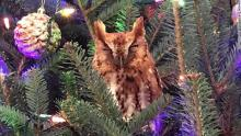 Live Owl in Christmas Tree