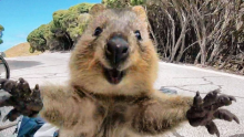 What's A Quokka & Why Are They So Damn Happy?
