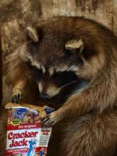 Cracker Jack Raccoon