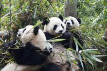 Panda Trio, Chengdu Research Base of Giant Panda Breeding