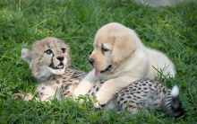 Cheetahs Prove That Cats & Dogs Can Get Along