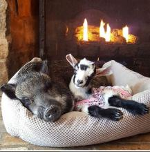 Pig and Goat Pals