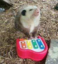 Piano Possum