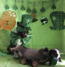 St. Patty's Party Dogs