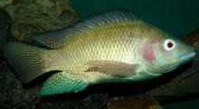 A Nile tilapia photographed at the Snake Park in central Nairobi by Bjørn Christian Tørrissen via Wikipedia