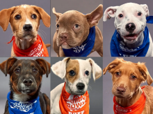 Puppy Bowl XVI: Adorable Adoptable Animal Amateurs On Animal Planet