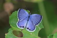 """Miami blue"" butterfly (via)"