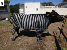 Painted cow Tomoki Kojima/Plos One
