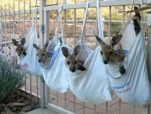 DIY Baby Kangaroo Sanctuary Established By Kangaroo Dundee