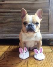 Bunny Slipper Bulldog