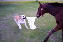 Dog and pony at play