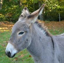 Tea'd Off Donkey Steps On Kettle, Pays Steep Price